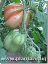 Coeur-de-Boeuf-tomaten-aurea (2)