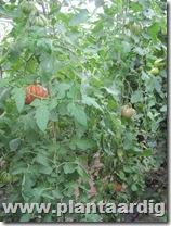 Coeur-de-Boeuf-tomaten-aurea (3)