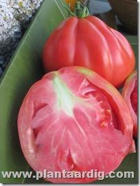 Coeur-de-Boeuf-tomaten-aurea (5)