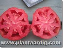 Coeur-de-Boeuf-tomaten-aurea
