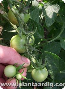 trossnoei tomaten