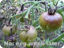 tomaten-ziekte-plaag-2de-tros