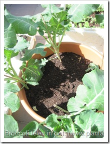 broccoli-kweken- potten- groentetuin1