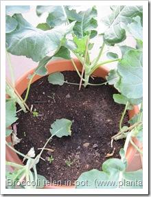 broccoli-kweken- potten- groentetuin2