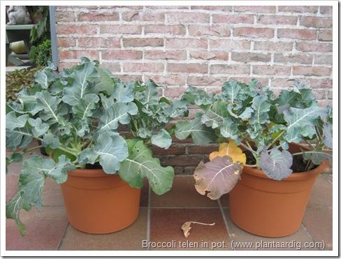 broccoli-kweken- potten- groentetuin4