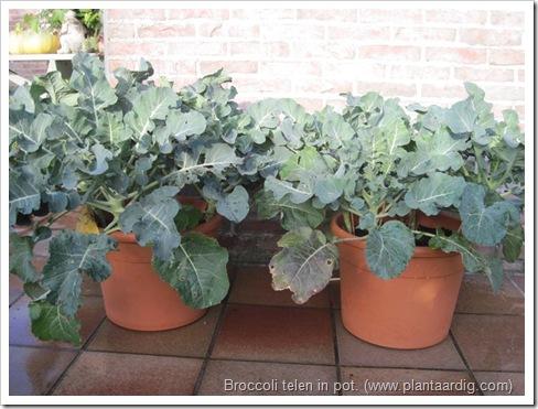 broccoli-kweken- potten- groentetuin6