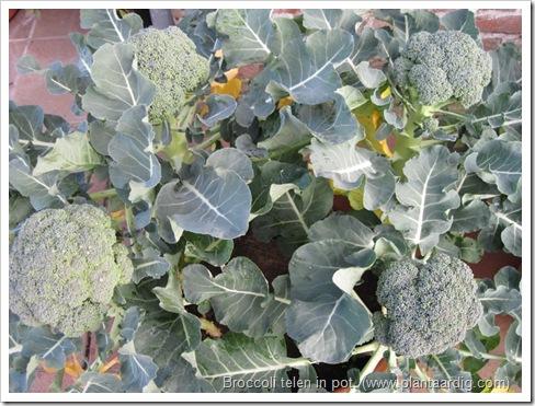 broccoli-kweken- potten- groentetuin8