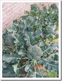 broccoli-kweken- potten- groentetuin9