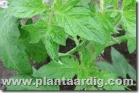 tomaten-gutteren (2)