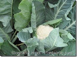 blkpt12_afdekken_bloemkool