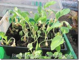 blkpt1_vorstschade_bloemkoolplanten_16_03