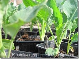 blkpt2_in_pot_9cm_bloemkoolplanten_15_04