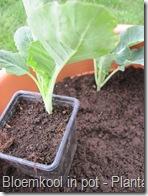 blkpt3_planten_9cm_bloemkoolplanten_15_04