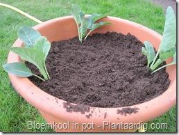 blkpt4_buitenkant_schuin_bloemkoolplanten_15_04