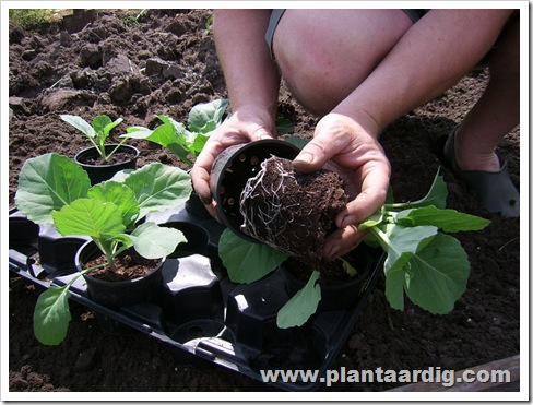 spitskool_planten_uitstellen
