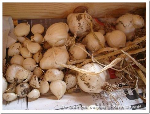 119de broedbollen voor het plantgoed