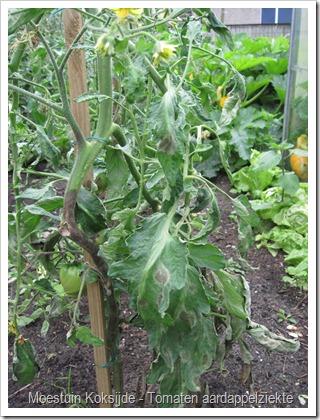 Tomaten-koksijde-aardappelziekte