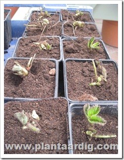 aardbeien-planten