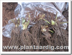 aardbei-planten