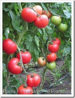 Paola_F1_tomaten1