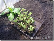 boerenkool met tabaks plant.