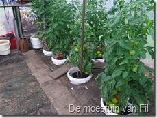 de rijping van de tomaten is op gang gekomen enkel de zon ontbreekt.
