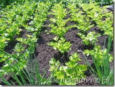 selder in volle grond. witte en groene.