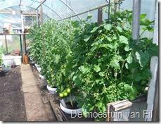 tomaten in potten Pyros f1 hybride.