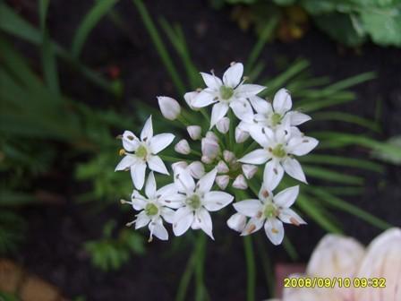 bloem bieslook