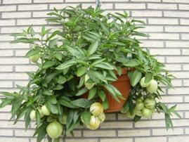 pepino, meloenpeer hangpot