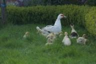 Hoera jonge eendjes in mijn tuin.