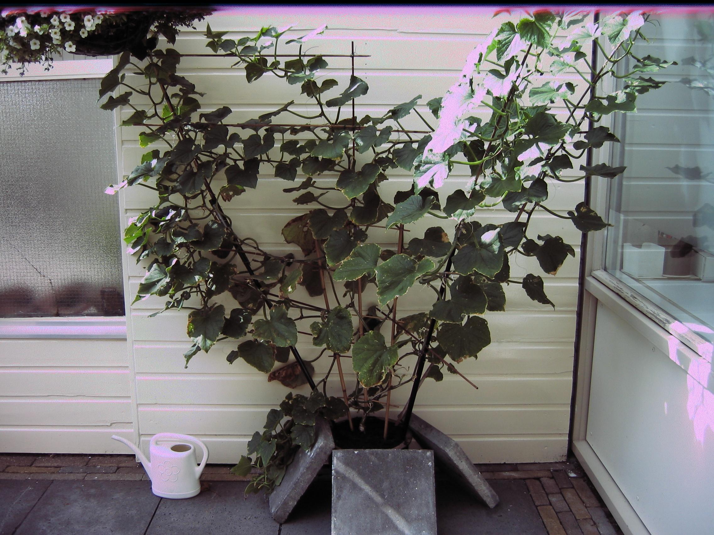 Een prachtige plant minikomkommers, ingezonden door Loes.