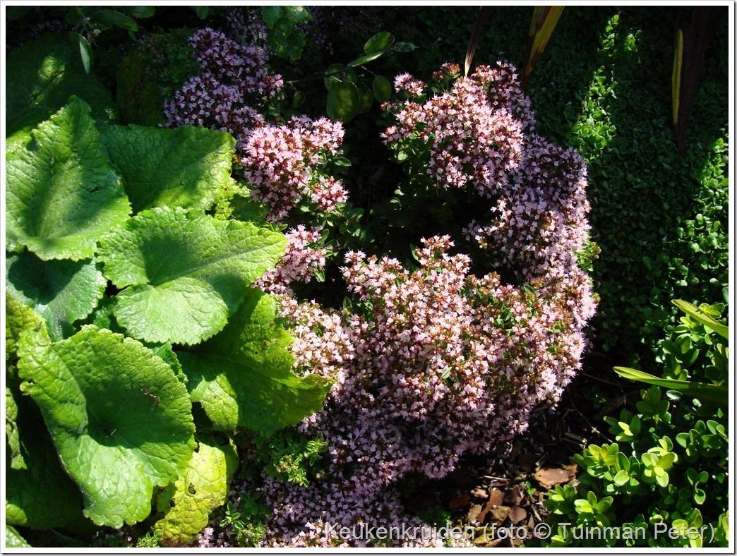 foto 19b, compacte oregano, Origanum vulgare 'Compactum'