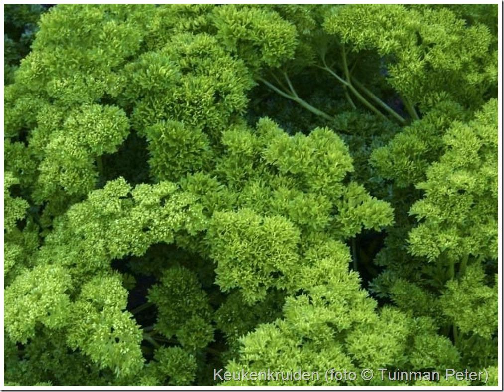 Petroselinum crispum (peterselie)