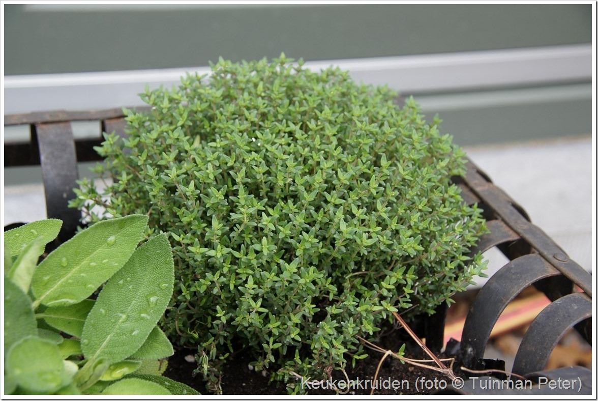 foto 25, keukentijm, Thymus vulgaris Compactus