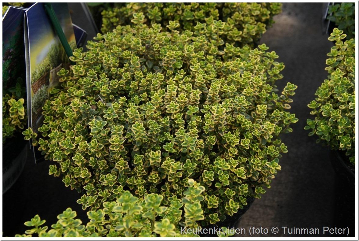 foto 26b, citroentijm, Thymus citriodorus lemon