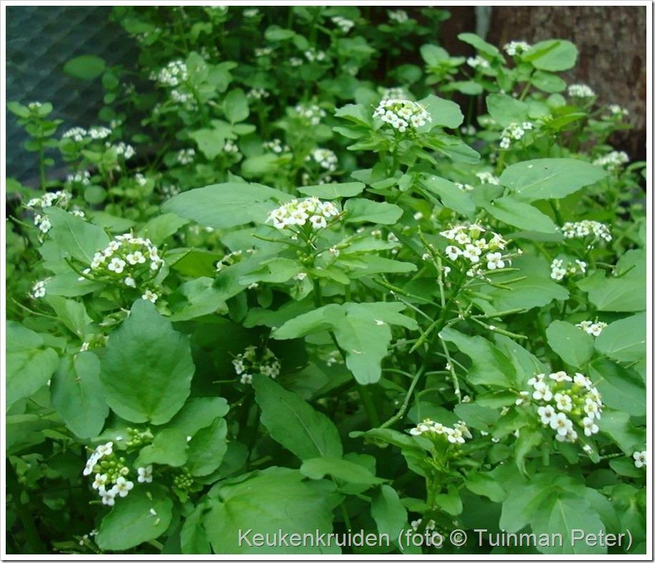 foto 31, waterkers, Nasturtium-aquaticum