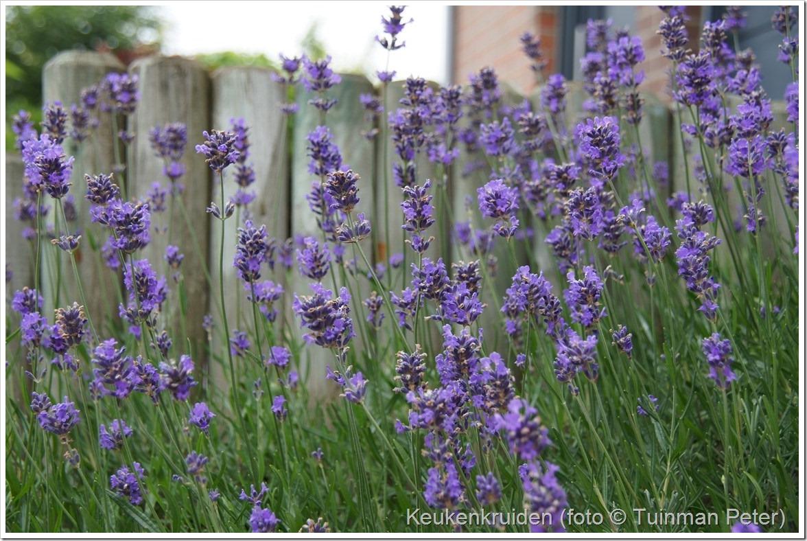 foto 34, lavendel, Lavendula angustifolia