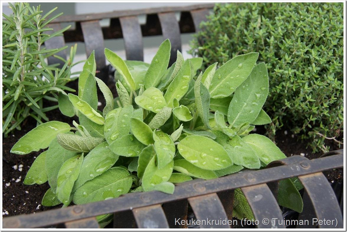 foto 40,grofbladige salie, Salvia officinalis 'Berggarten'