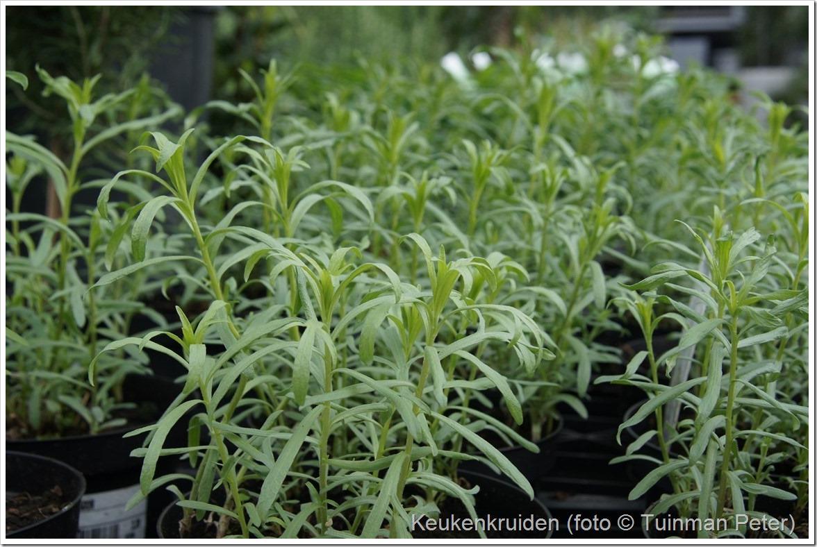 foto 8, franse dragon, Artemisia dracunculis