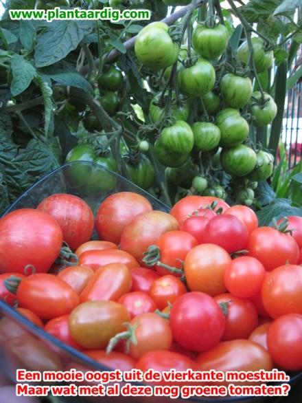 tomaten narijpen (groen geoogst)