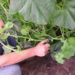 4 juli ** Begin juli waren de eerste honingmeloenen al flink gegroeid. Alhoewel de onderste scheuten al eens gesnoeid waren moet dit later nog eens gebeuren. Er komen inderdaad steeds nieuwe scheuten.
