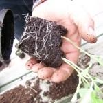 20 april ** Uit de pot halen, drie plantjes per potkluit