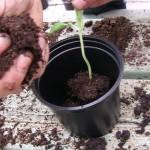 20 april ** Een oplossing voor gefileerde planten : steek ze voldoende diep in de pot. Zolang de kiemblaadjes boven de grond zitten is er geen probleem.