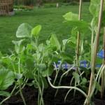 20 april** Hoe licht je de plantjes ook zet, binnenshuis kan fileren moeilijk vermeden worden. Opvallend : de langste, meest gerokken planten zijn de honingmeloenen.