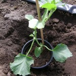 18 mei ** En plant klaar om uit te planten