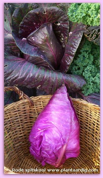Rode spitskool oogsten in de moestuin van GroentenInfo