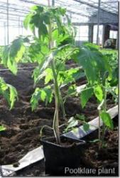 Wanneer en hoe tomaten planten in de kas.