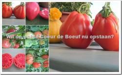 Tomaten telen - Coeur de Boeuf – Ossenhart