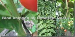 De tomatenteelt : waarom, hoe en wanneer blad snijden? - deel 1